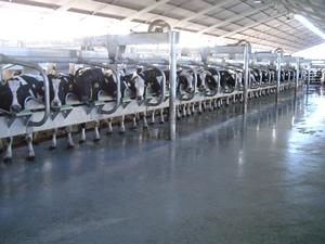 Cow platform